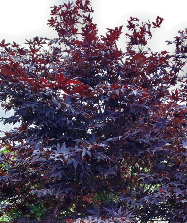 ACER PALM. 'BLOODGOOD':